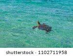 turtle  maui  hawaii   Shutterstock . vector #1102711958