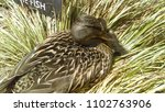 mallard duck and babies | Shutterstock . vector #1102763906