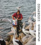 Small photo of Kingscote, Australia. Circa May 2005. Australian pelicans watch as The Pelican Man arrives to feed them in Kinsgcote wharf, Kangaroo island.