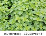 background of green leaves of... | Shutterstock . vector #1102895945