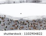 Small photo of ducks and drakes swimming in lake in urban Timiryazevskiy park in Moscow city in winter snowfall