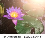the purple lotus that hit the... | Shutterstock . vector #1102951445