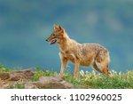 golden jackal  canis aureus  in ...   Shutterstock . vector #1102960025