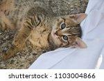 Stock photo cute kitten playing on white blanket kitten laying on white blanket kitten with blue eyes 1103004866