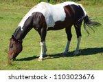 the appaloosa is an american...   Shutterstock . vector #1103023676