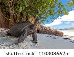Stock photo aldabra tortoise in the island 1103086625