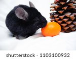 black chinchilla  orange and... | Shutterstock . vector #1103100932