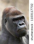 Serious Silverback Gorilla ...