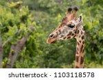 rothschild's giraffe  giraffa... | Shutterstock . vector #1103118578