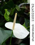 Small photo of anthurium picasso is a genus of about species of flowering plants the largest genus