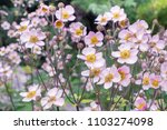 Anemone hupehensis. commonly...