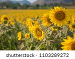 Beautiful Sunflowers Blooming...