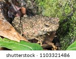 asian giant toad or river toad  ... | Shutterstock . vector #1103321486