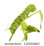 Tomato Hornworm   Manduca...