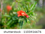pomegranate blossoms. branch... | Shutterstock . vector #1103416676