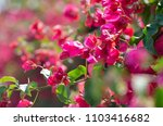 beautiful bougainvillea... | Shutterstock . vector #1103416682