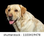labrador retriever dog on... | Shutterstock . vector #1103419478