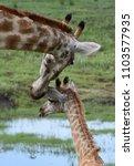 a mother giraffe gently nuzzles ... | Shutterstock . vector #1103577935
