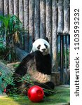 Small photo of Giant Panda is eating food made from bamboo.