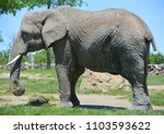 elephants are large mammals of... | Shutterstock . vector #1103593622