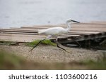 the white heron bird with large ... | Shutterstock . vector #1103600216