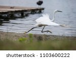 the white heron bird with large ... | Shutterstock . vector #1103600222