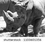 the white rhinoceros or square...   Shutterstock . vector #1103601356