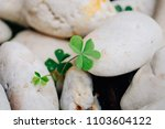 Close Up Of Clovers Leaf In Th...