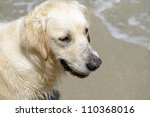 head of a golden retriever outdoors - stock photo