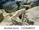 golden retriever outdoors on rocky beach - stock photo