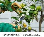 Gardener Pruning A Young Lemon...