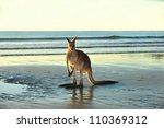 Australian Eastern Grey...