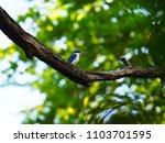 collared kingfisher. white... | Shutterstock . vector #1103701595