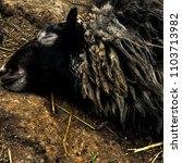 Small photo of black sheep is sleeping