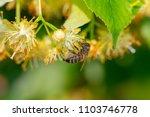 Honey Bee In Linden Flowers ...