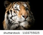 Portrait Bengal Tiger - Fine Art prints