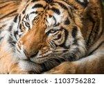Face Bengal Tiger - Fine Art prints