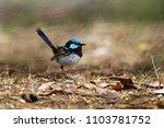 superb fairywren   malurus... | Shutterstock . vector #1103781752