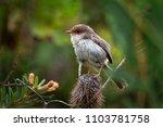 superb fairywren   malurus... | Shutterstock . vector #1103781758