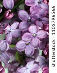 lilac flowers in the spring in...   Shutterstock . vector #1103796566