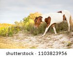 a wild pony foraging on the... | Shutterstock . vector #1103823956
