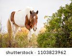 a wild pony foraging on the... | Shutterstock . vector #1103823962