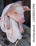 farmer bathes small piglet in... | Shutterstock . vector #1103831396