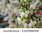 beautiful bougainvillea... | Shutterstock . vector #1103988506