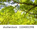 under a big tree looking up to... | Shutterstock . vector #1104001598
