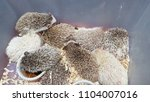 porcupine select background | Shutterstock . vector #1104007016
