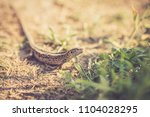 lizard sitting on brown sand...   Shutterstock . vector #1104028295