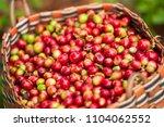 fresh arabica coffee berries in ... | Shutterstock . vector #1104062552