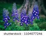 Delphinium  Dark Blue White Be...