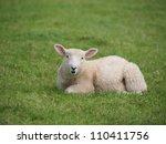 Cute Lamb Lying Down In Meadow